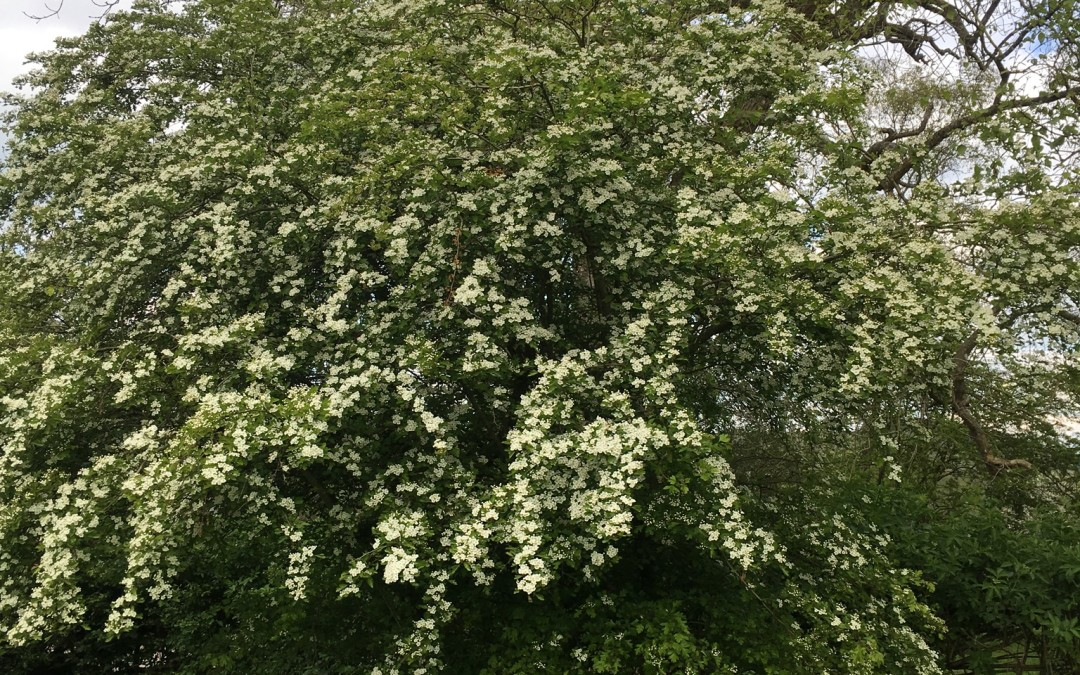 The May Tree aka Hawthorn at the Weald & Downland Museum